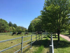 会社から徒歩5分 北大内で牛の放牧